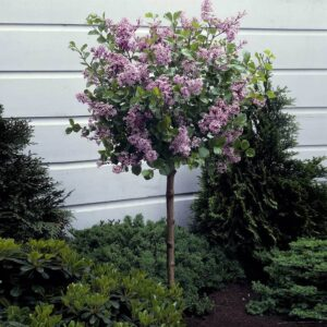 Korean Lilac Tree