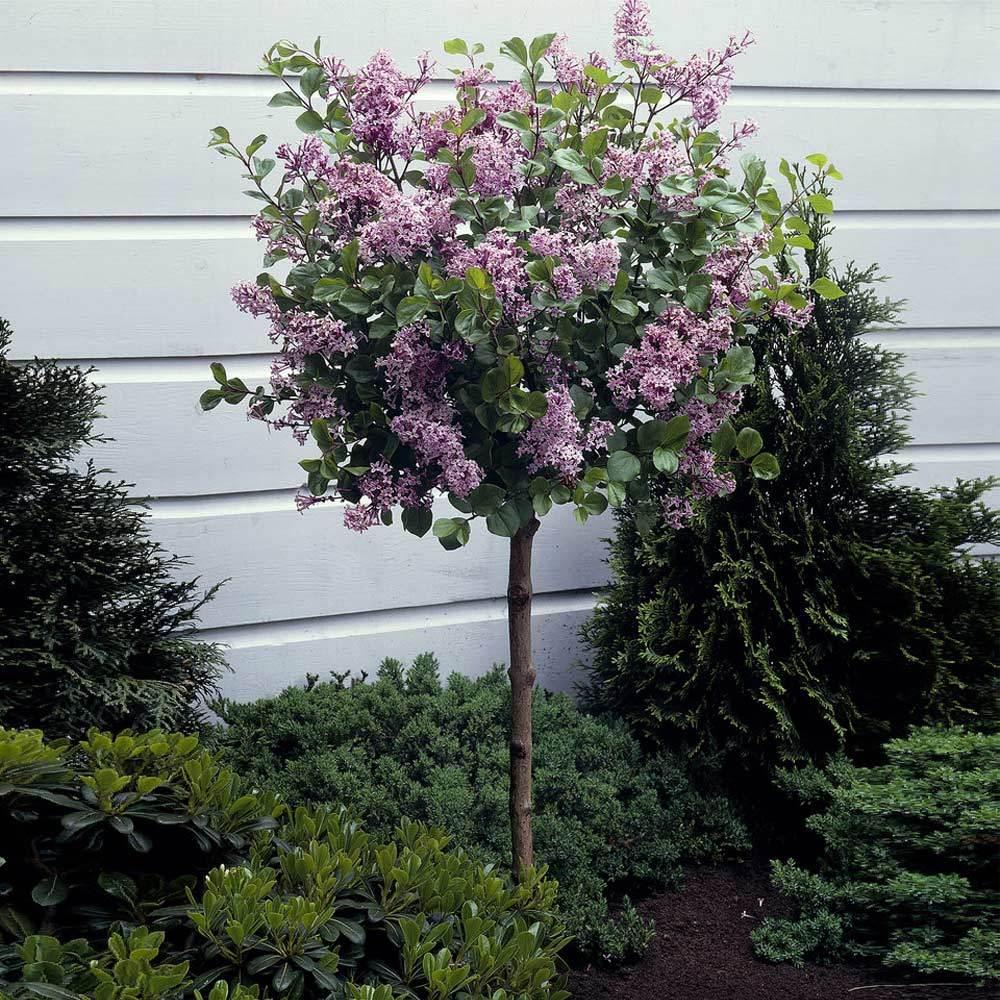 Fast Growing Trees – Korean Lilac Tree