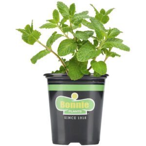 Bonnie 19.3-oz in Pot Sweet Mint