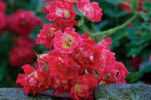 Drift - Ground Cover Rose