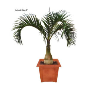 Real Palm Trees - Spindle Palm Tree