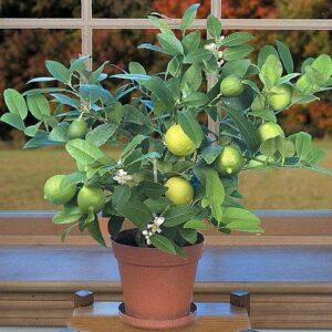 Planting Tree- Key Lime Tree
