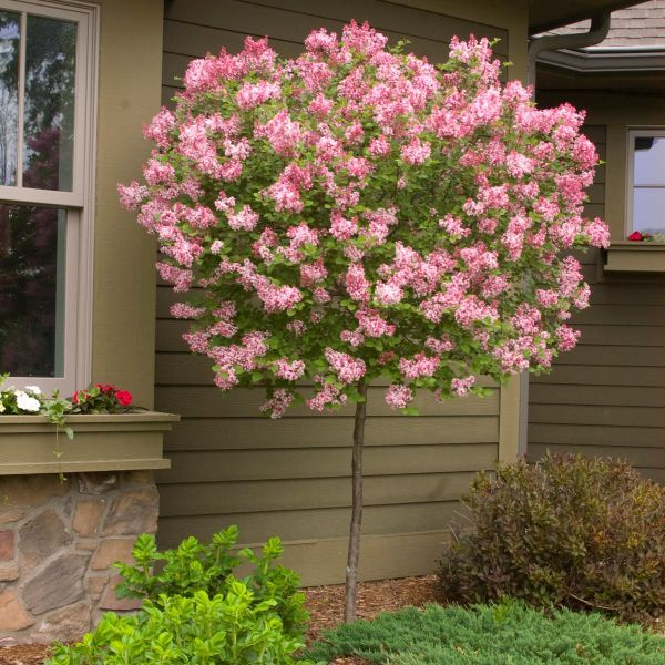 Read more about the article Nature Hills Nursery – Tinkerbelle Lilac Tree